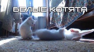 Маленькие белые котята (Small white kittens)