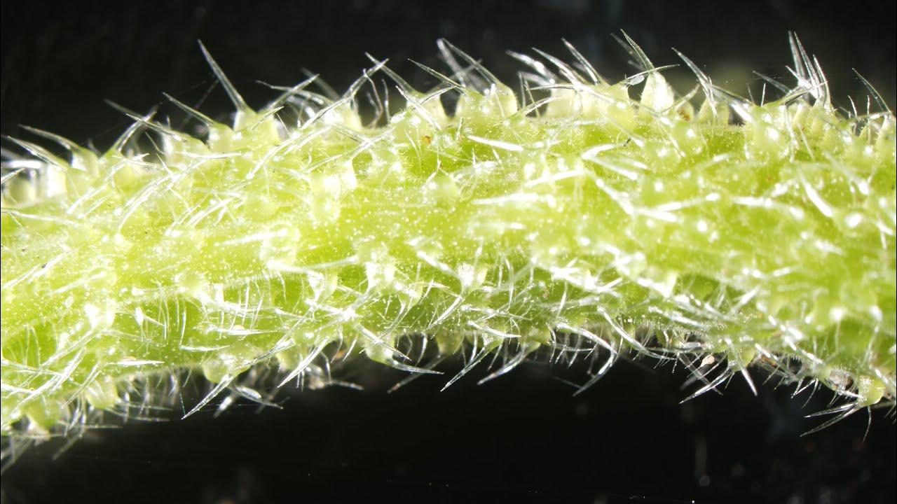 Почему самое ядовитое растение в мире вызывает сильную боль?
