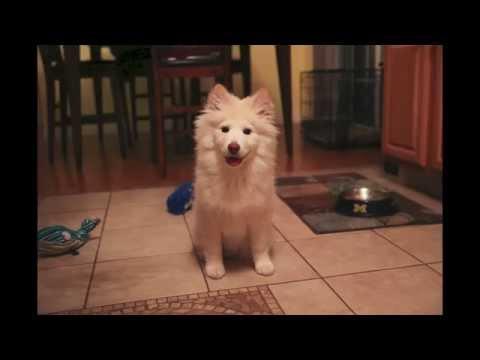 Zelda the Finnish Lapphund - Her First Year