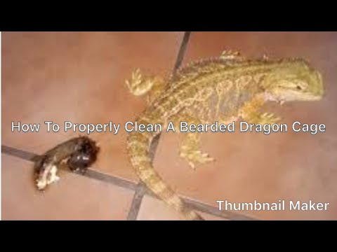 how to clean a bearded dragon carpet