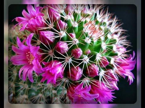 Чтобы кактусы цвели