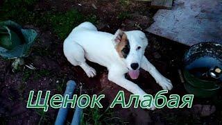 """Чистокровный щенок Алабай, Димон купил собаку и назвал её """"Мерри"""""""