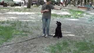 Дрессировка щенка лабрадора http://dogclass.ru/