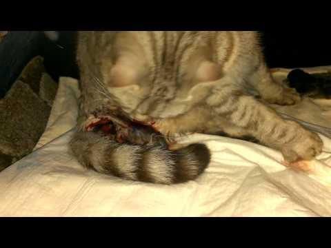Роды кошки Кошка родила котят