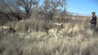 Utah Bird Dog Training For Pheasant Hunting