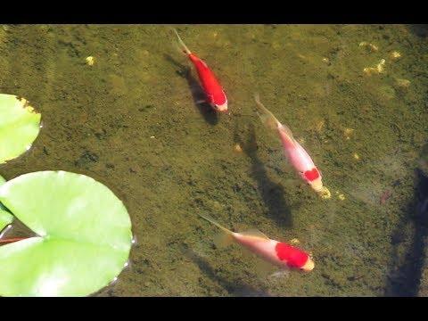 Sarasa Comet Goldfish [pond] From Aquarium Fish Tank