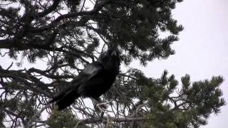 Raven Crow Training Test Part 1