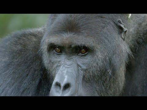 Close encounter with Chimanuka the Gorilla  Gorilla Family & Me: Episode 2 P  BBC Two