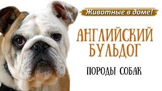 Английский бульдог - породы собак.