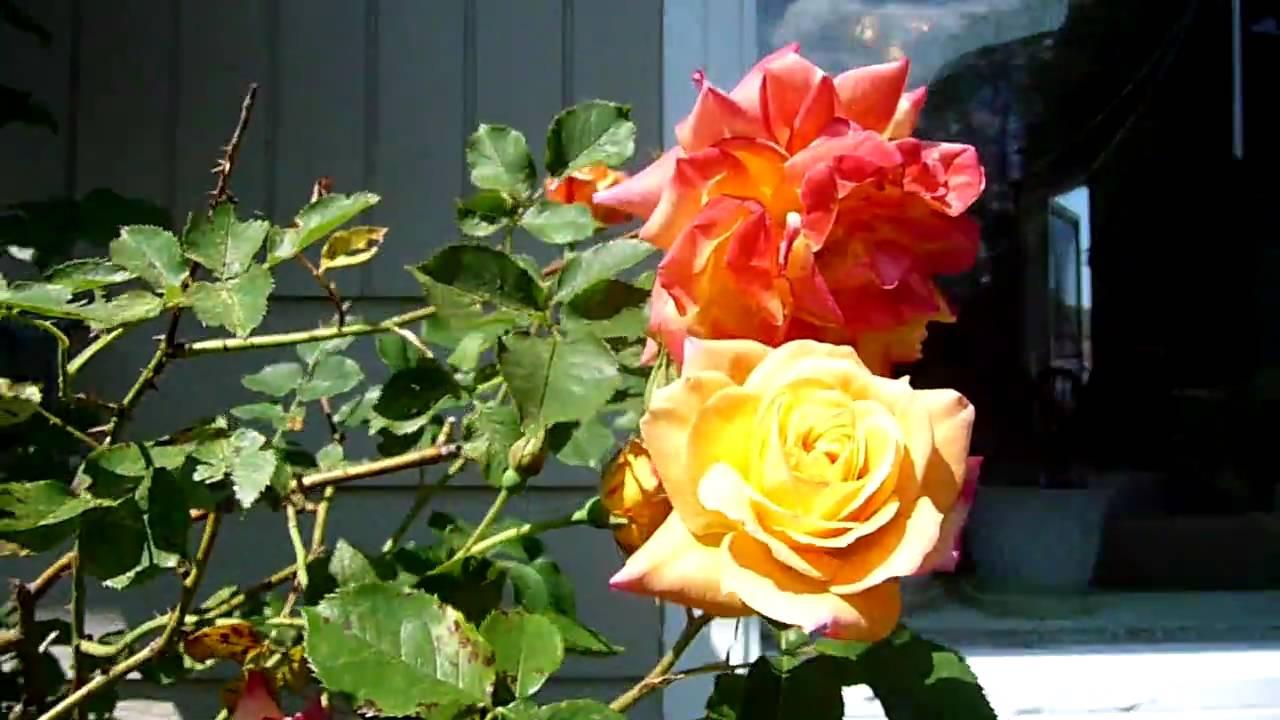 Joseph Coat Rose Bush at the Moyer's House - YouTube