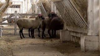 Теория поля: разведение овец и сельхозрынок