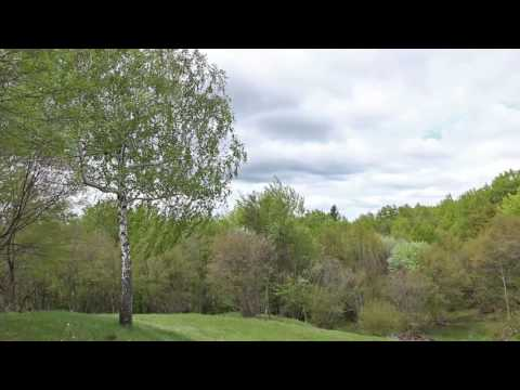 Sound of Birch Tree Swaying in the Wind 1 Hour / Relaxing Sound of Wind and Birds Singing