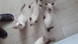 Завтрак. Тайские котята.