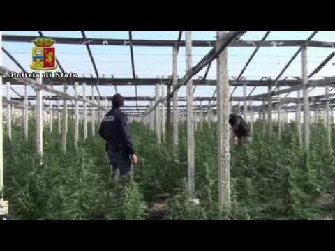 Sequestrata piantagione di 4500 kg di cannabis nel Ragusano: video e foto