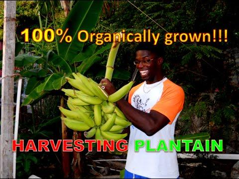 Harvesting 100% organically grown plantain.