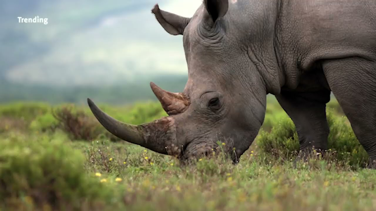 3 Rhino Species Are Critically Endangered