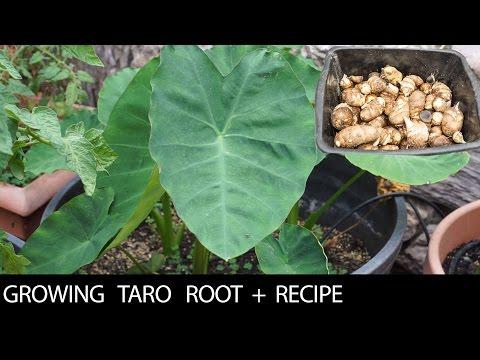 Growing 3 Taro Varieties + Recipe