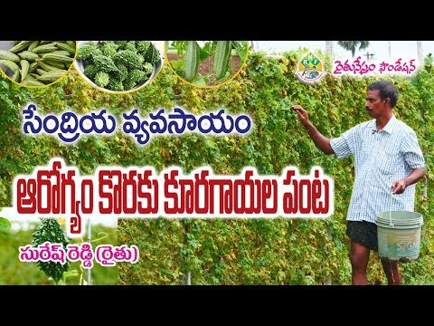 Natural Vegetable Farming by Ideal Farmer Suresh Reddy || Krishna District || Contact - 9491957535
