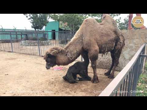 Рождение верблюжонка. Тайган | Camel Giving Birth. Taigan