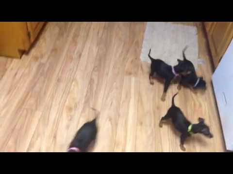 Manchester Terrier puppies 8 weeks