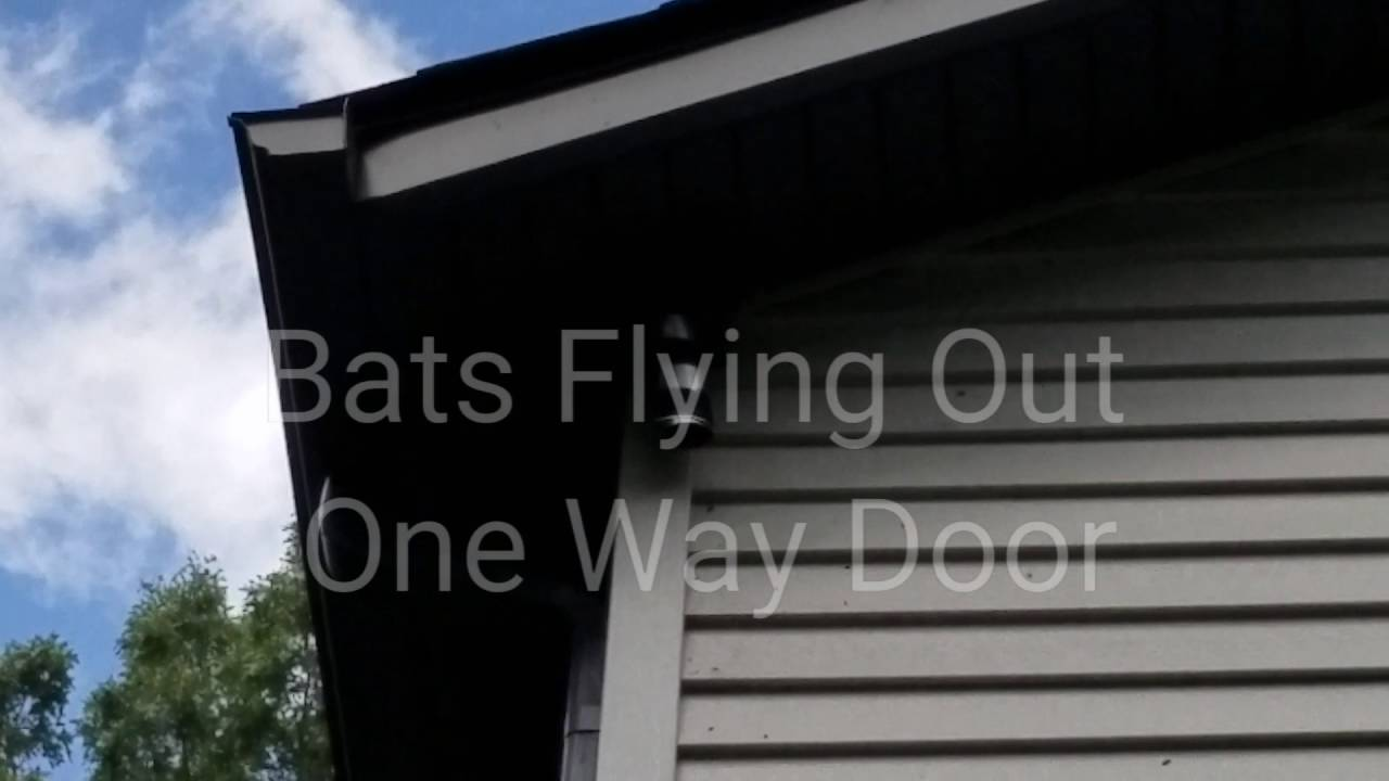 Bat Removal Through One Way Door & Bat Removal Through One Way Door - YouTube