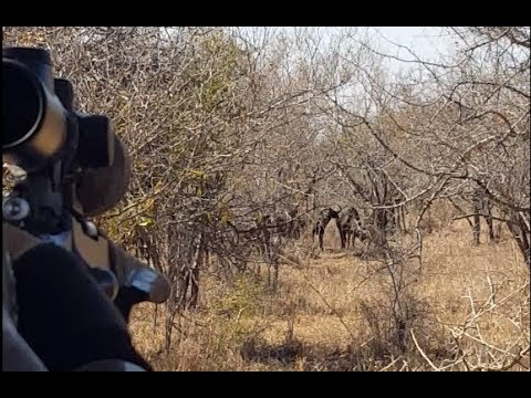 Pro Hunting Safaris Cape Buffalo Cow Hunt with Leica Musgrave and Peregrine