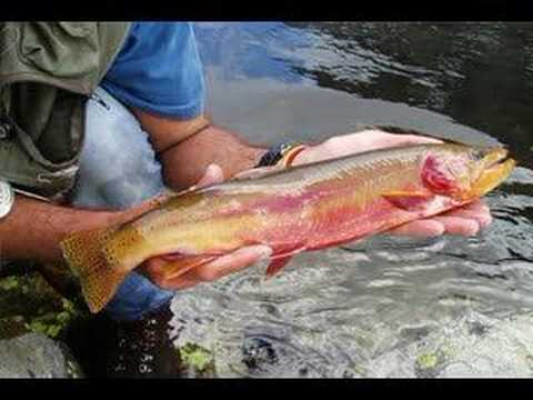 Fly fishing for big golden trout 1 wyoming youtube for Wyoming out of state fishing license