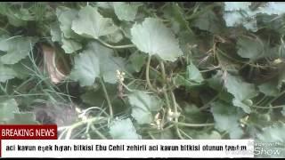 Acı kavun eşek hıyarı Ebu Cehil cırtlak zehirli acı kavun bitkisi tanıtım videosu
