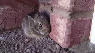 Catching a Baby Screaming Bunny thumbnail