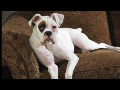Boxer Dog Breeds Information, Origin, History, Appearance, Temperament, Health