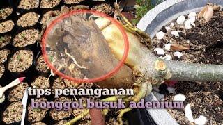 Tips penanganan bonggol adenium busuk,kamboja busuk