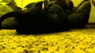 19 Days Old - Dachshund / Yorkshire Terrier Mix Puppy