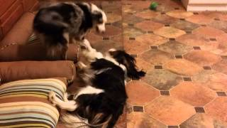Cavalier King Charles Spaniel Vs. Mini Aussie