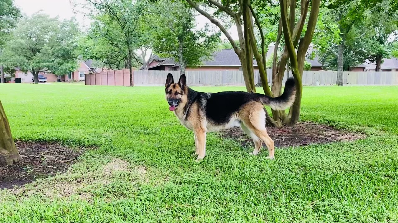My GSD Never Leaves Me By Myself | This Indian GSD