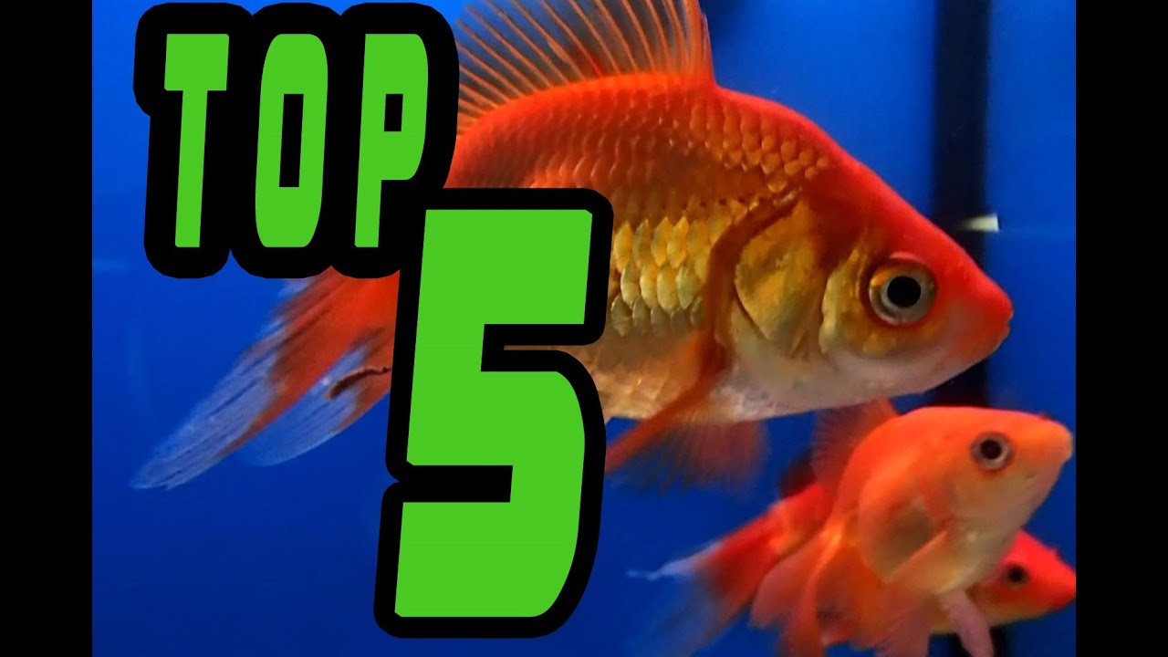 Top 5 easy beginner fresh water fish youtube for Cold freshwater fish