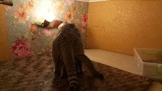 Золотой шотландский кот Вязка.Golden Scottish cat. Knit.