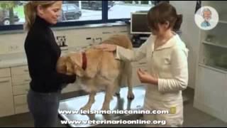 Informacion sobre la leishmania canina - Veterinario Online