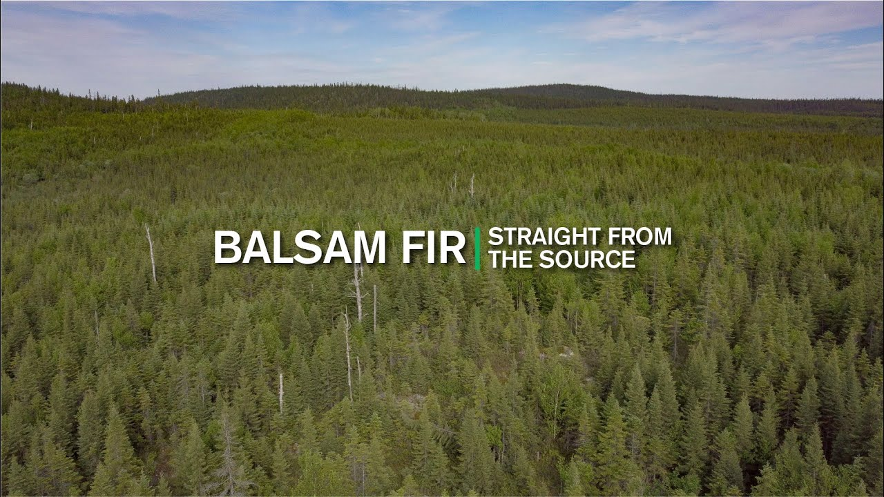 Straight From the Source Balsam Fir