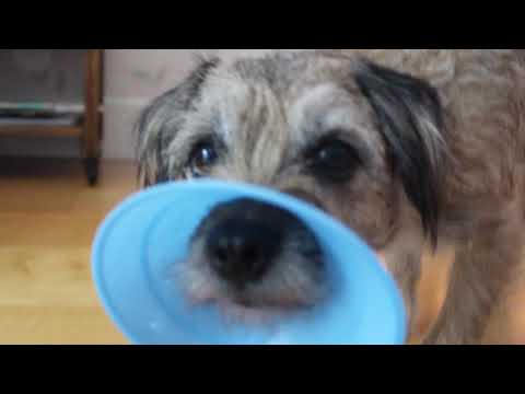 Border terrier, Norfolk terrier and crossbreed puppy tricks!