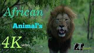 Afrecan Animal's world 4K Video || Animal's planet || Top Animal's || Lions••Y.T Animal's••🎬