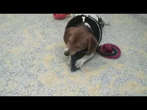 Drug testing: research with dogs