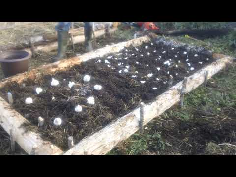 Garlic Experiment: Grocery Store vs Seed Stock