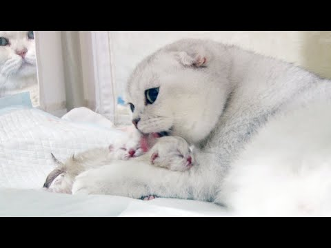 Scottish Fold gives birth to 4 cute kittens | Pregnant Silver Cat giving birth to adorable baby cats