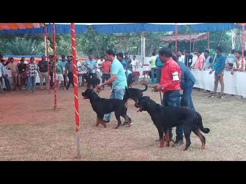 Rottweiler Dog show in GOA....26th Nov 2017