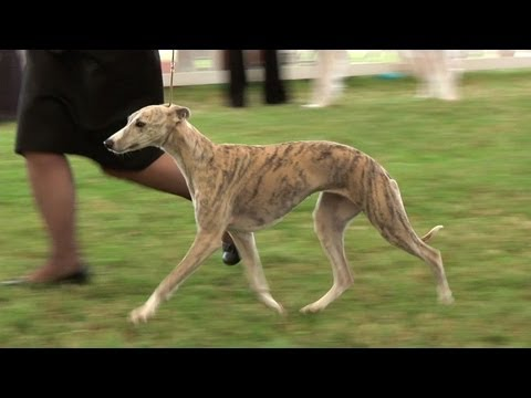 bournemouth-championship-dog-show-2013-hound-group