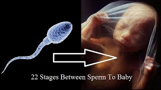 22 Stages Between A Sperm To A Baby