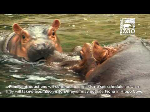 Baby Hippo Fiona Together with Mom and Dad - Cincinnati Zoo