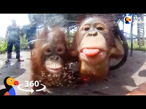 Orphaned Baby Orangutans Forest School in 360° | The Dodo VR