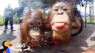 Orphaned Baby Orangutans Forest School in 360° | The Dodo VR