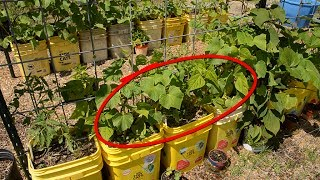 Garden Update - Containter Vine Arbor